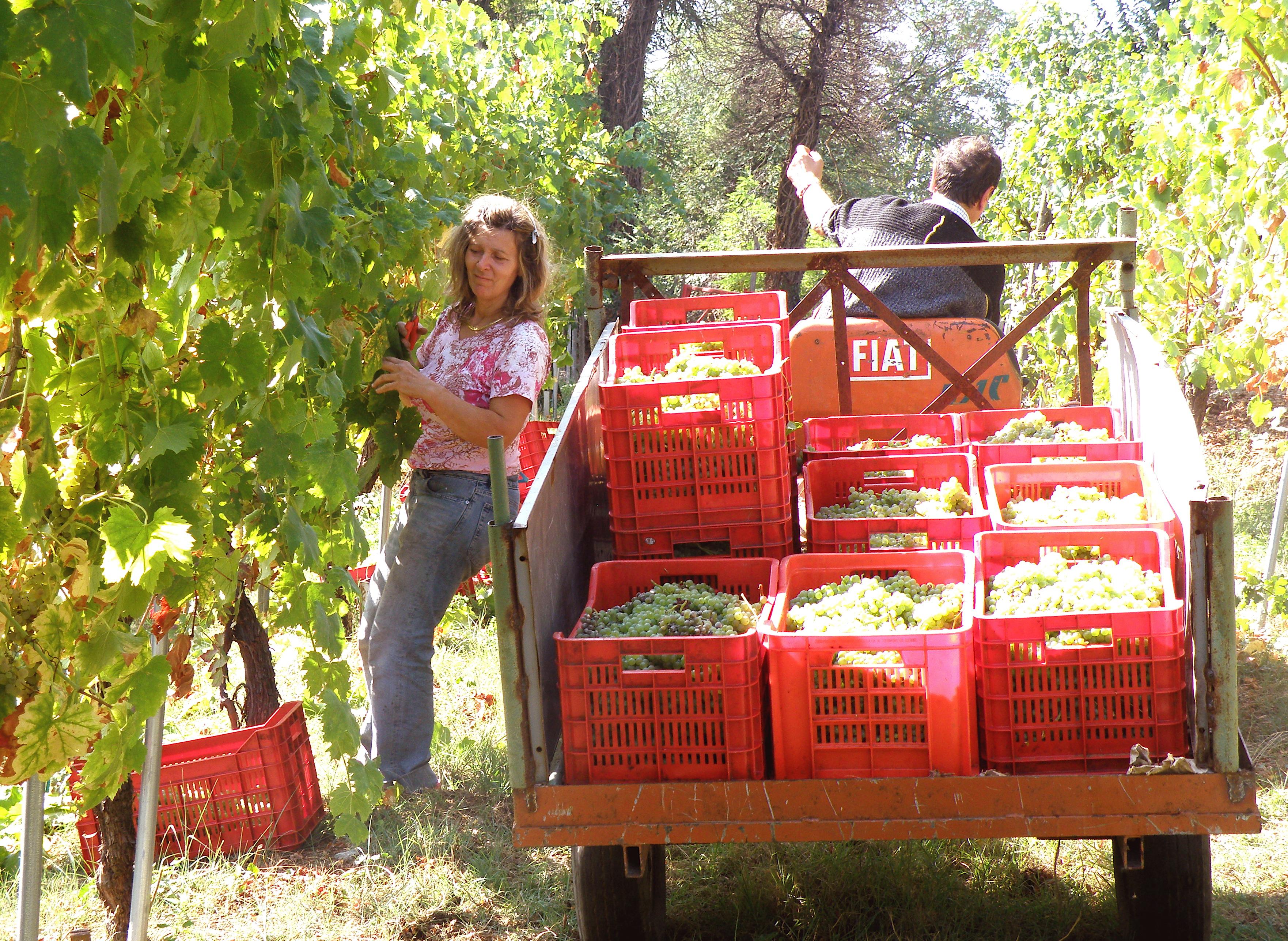 Agriturismo-Ca-Isotta-Vendemmia